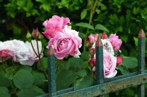 ruža, cvijet, latice, ograde, metalne, vrt, list