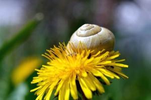 dandelion, plant, flower, snail, petal