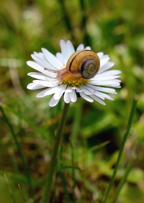daisy, snail, flower, petal, blossom, nature