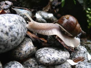 snail, stone, garden, nature, animal