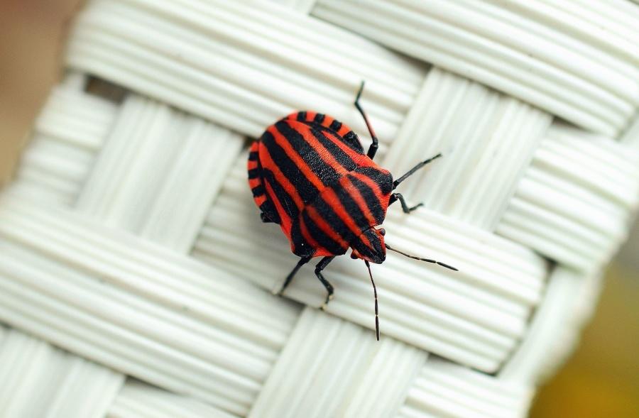 Beetle, bug, εντόμων, ζώων