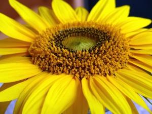 sunflower, flower, petal, pollen