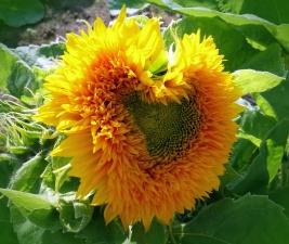 sunflower, flower petals, leaves, plant