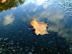 oak, leaf, dry, water, wet, reflection