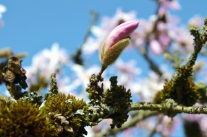 magnolia, petal, sky, branches, tree, flowering