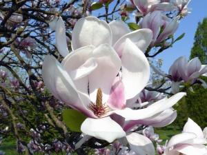 magnolia, spring, tree, park, flower, petals, pistil