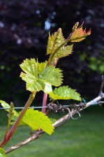 grapevine, leaves, fruit, spring wire, farm, branch