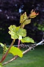 vinná réva, listy, ovoce, Pružinové dráty, farma, větev