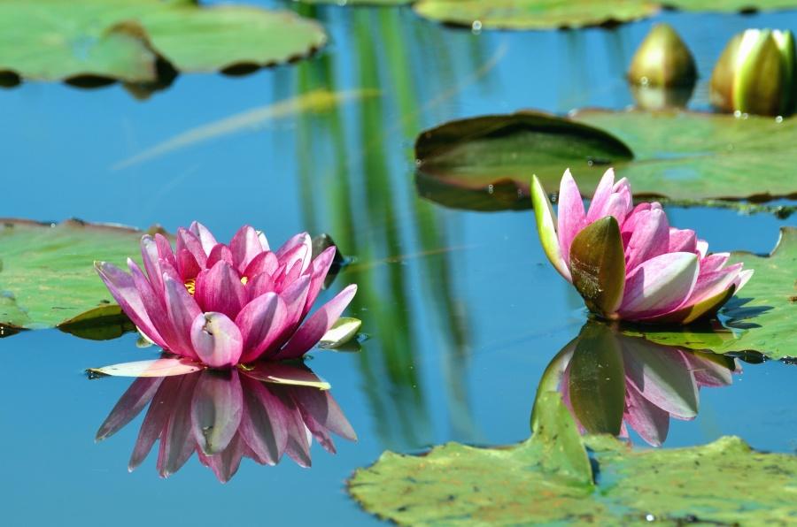lotus, leaves, water lily, lake, flower