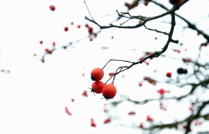 Madera, rama, fruta, naturaleza, cielo, otoño
