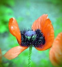 okvětní lístky, květ, květy, příroda, paličkou, mulčovač