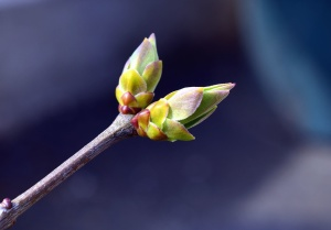 bud, twig, fruit, tree