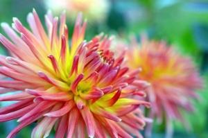 cvijet, latica, tučak, vrt, priroda