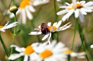 daisy, bee, pollen, honey, pollination