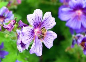 пчели, мед, цвете, насекомо, лято