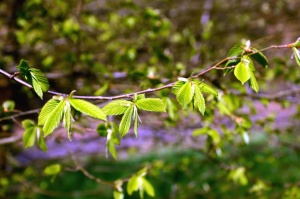 leaf, tree, branch, spring, nature