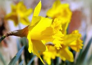 plant, daffodil, flower, bloom, petal