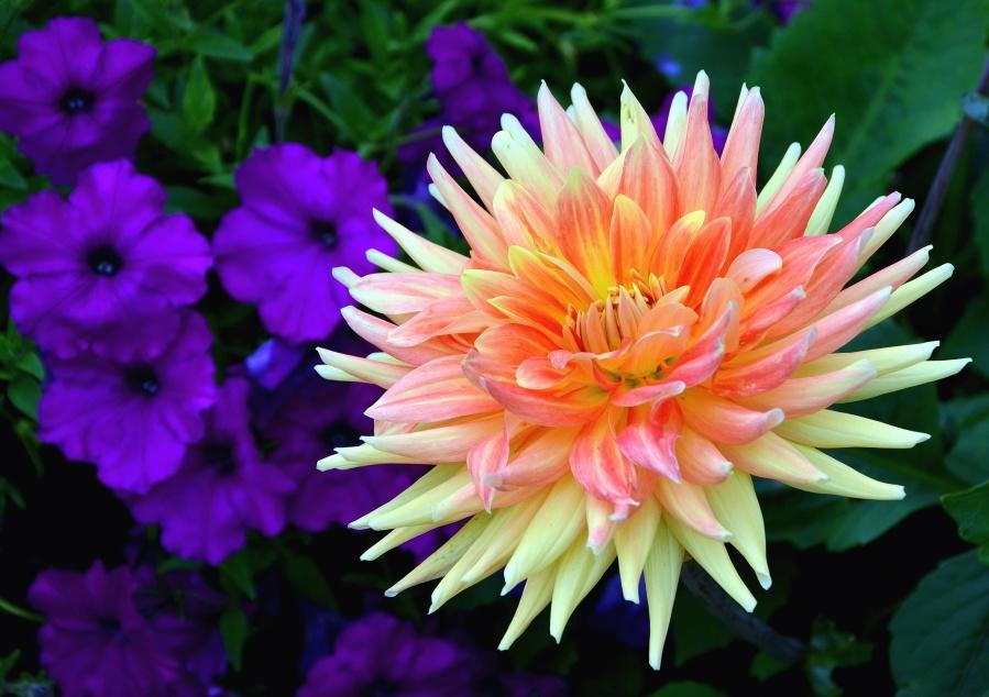 cvijet, cvatnje, vrt, latice, list