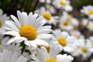 daisy, flowering, petals, pollen, stamens