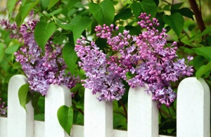 lilac, shrub, flower, flowering, fence