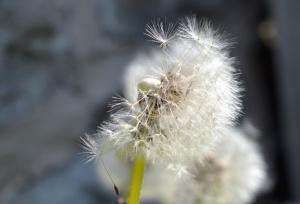 dandelion, seed, flower, haulm, spring
