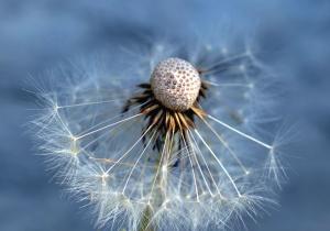 dandelion, seed, flower, macro