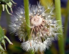 dandelion, flower, flowering, seed, nature