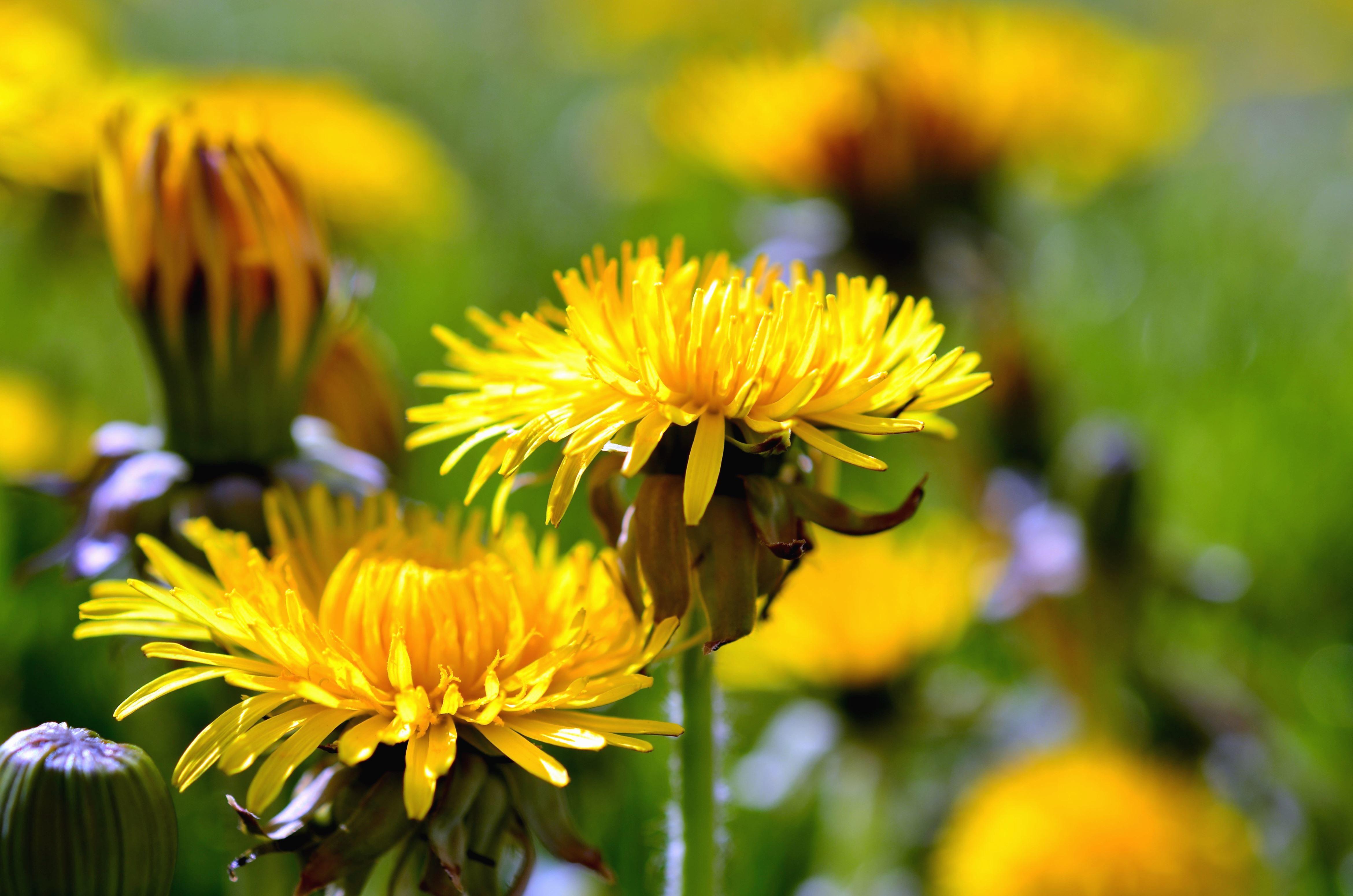 free picture: dandelion, flower, flowering, haulm, petals, nature