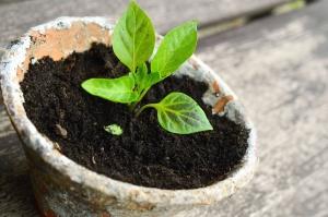 χούμο, φυτό, γλάστρες, κεραμική, φύλλο