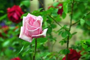 Rose, fleur, pétale, jardin, feuille