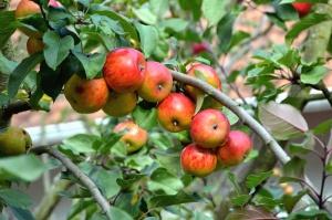 kayu, cabang, buah, apel, daun