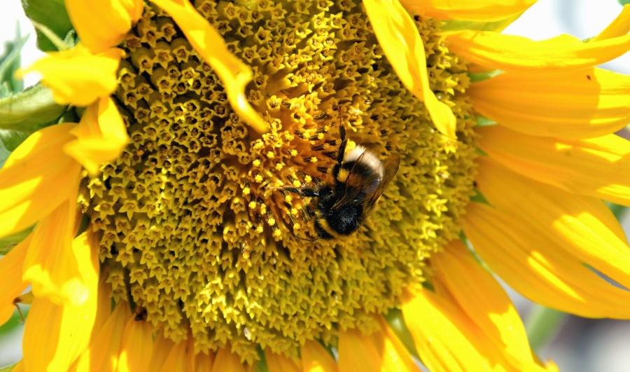sunflower, flower, bee, honey, pollination, flowering, petal, field
