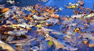 autumn, leaf, plant, water, wet