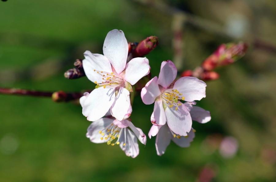 cherry, flower, tree, branch, spring