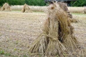 beam, cereals, dry, plant, field, organic farming