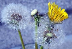 dandelion, flower, petals, seed, plant