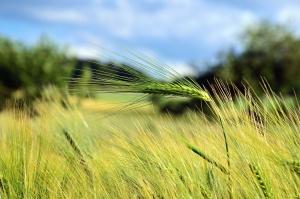 gospodarstwa, pola, ziarna, rolnictwo, uprawy