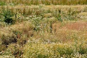 Prato, campo, erba, pianta, fiore