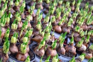 Cebolla, germinación, semilla, planta, alimento
