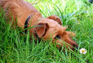 grass, daisy, dog, animal, pet