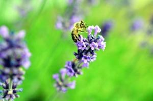 cvijet, pčela, med, oprašivanje, pelud