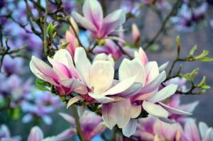 blomst, tre, kronblad, våren