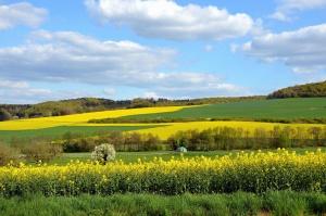 rzepakowy, pola, wsi, rolnictwa, rośliny, krajobraz