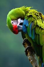 Macaw papagei, vogel, farbe, bunt, vogel, tier