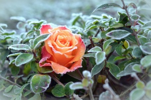 rose, plant, flower, frost, winter