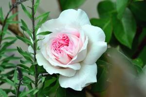 ruža, cvijet, biljka, cvijet, latica