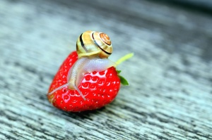 strawberry, snail, table, fruits, animals, invertebrates