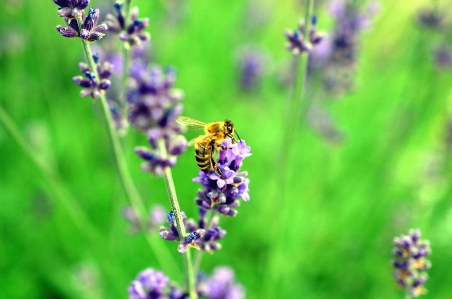 pčela, cvijet, dušo, livada, pelud