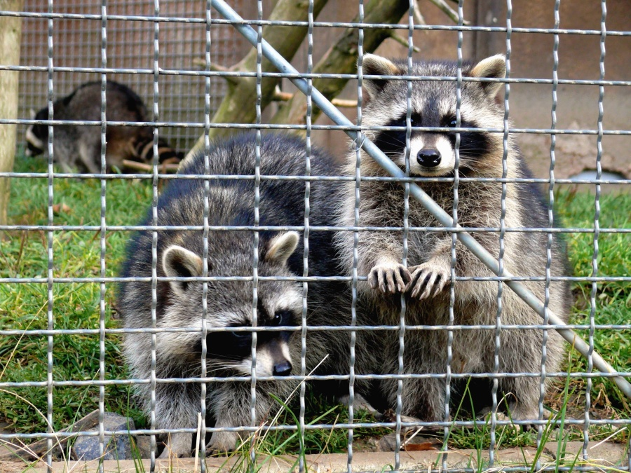 raccoon, cage, grass