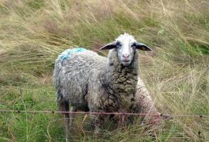 Ovejas, hierba, lana, campo